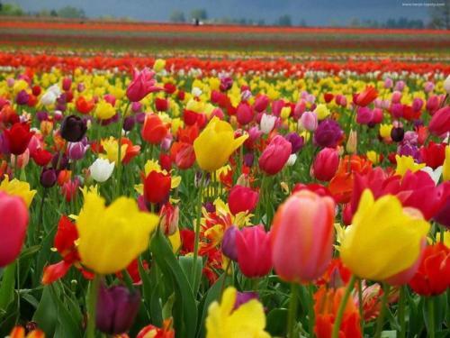 Một cánh đồng hoa Tulip đầu xuân ở Hà Lan. Sặc sỡ nhưng không kém phần xinh đẹp nhé ^^